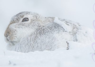 Mountain Hare And The Elements Of Winter-Trish Rudin