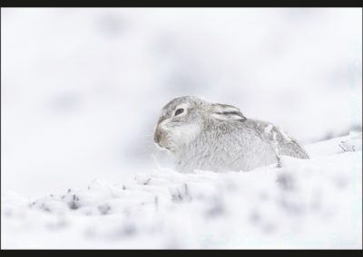 Mountain Hare During Storm Dennis-Chantal Cooper