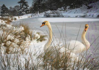 Mute Swans-John Denny