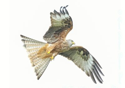 Red Kite-Isobel Chesterman