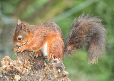 Red Squirrel-Andy Freeman