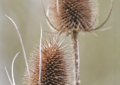 Teasels-Andy Freeman