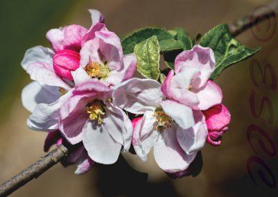 Apple Blossom-Paul Steans