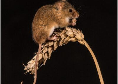 13 Harvest Mouse