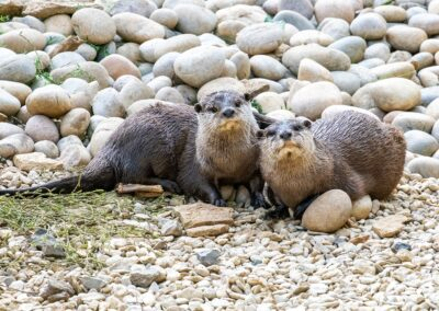 33 Short Clawed Otters